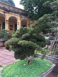 Bonsai dragon tree.