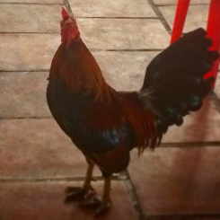 Rooster giving me side eye.